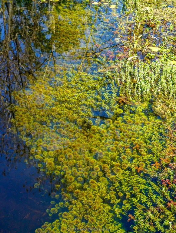underwater growth in the swamp in the everglades
