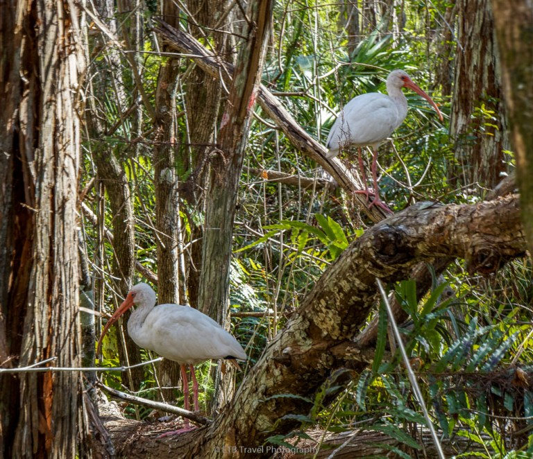 white ibis at the corkscrew swamp sanctuary