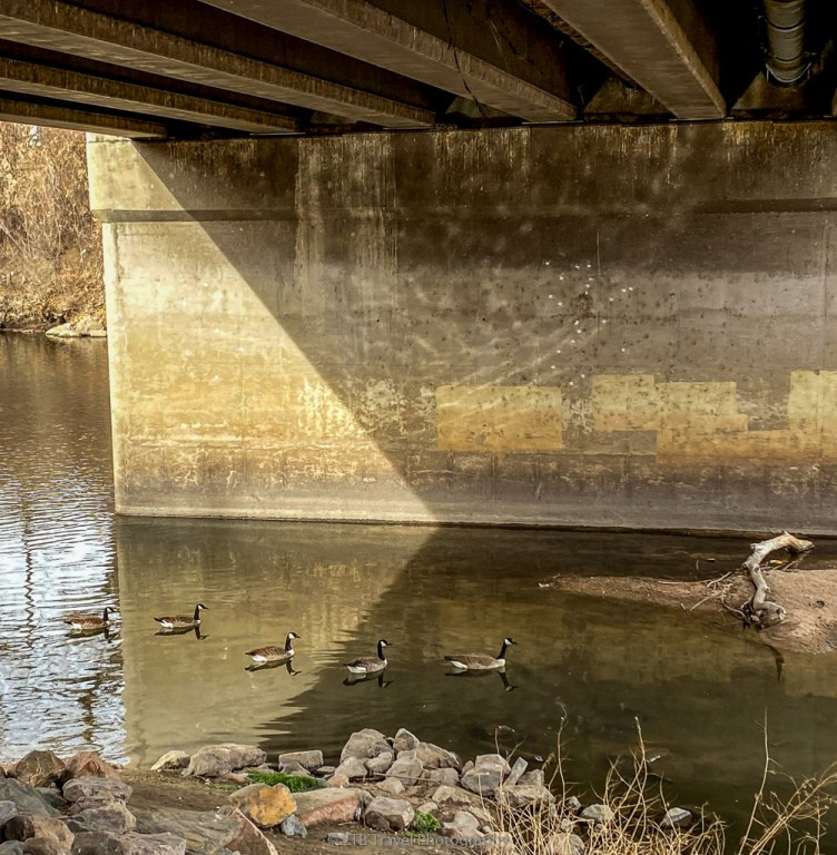 geese on the Platte River Trail