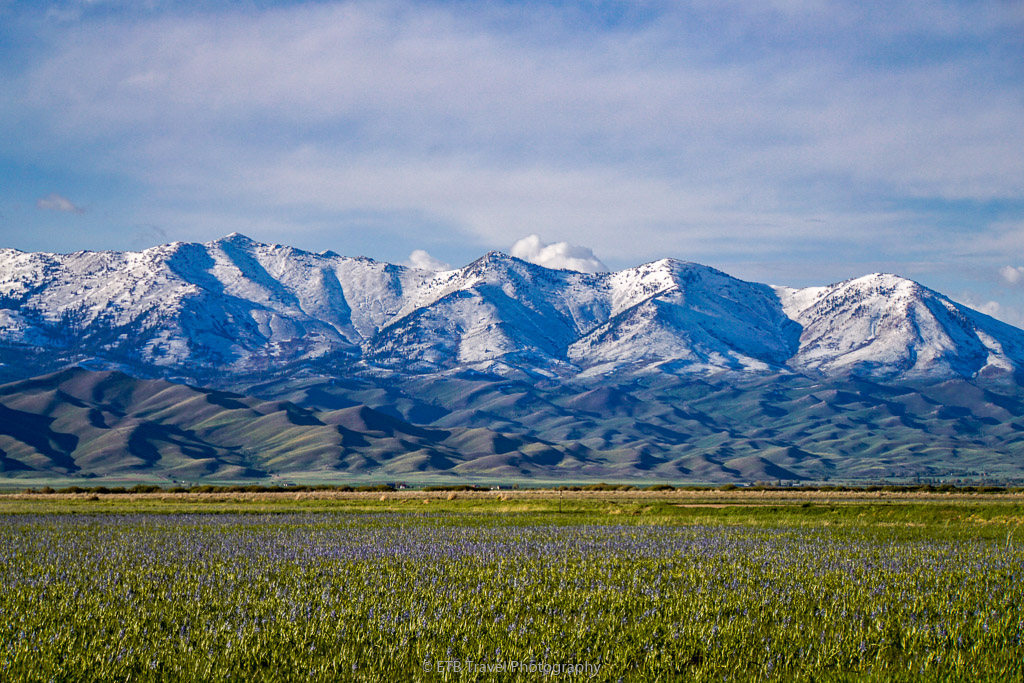 camas lilies with snowcapped mountains