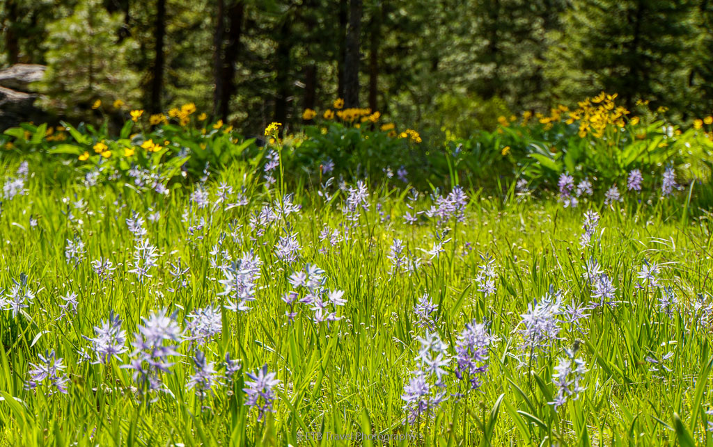 camas lilites on bear basin grand traverse loop