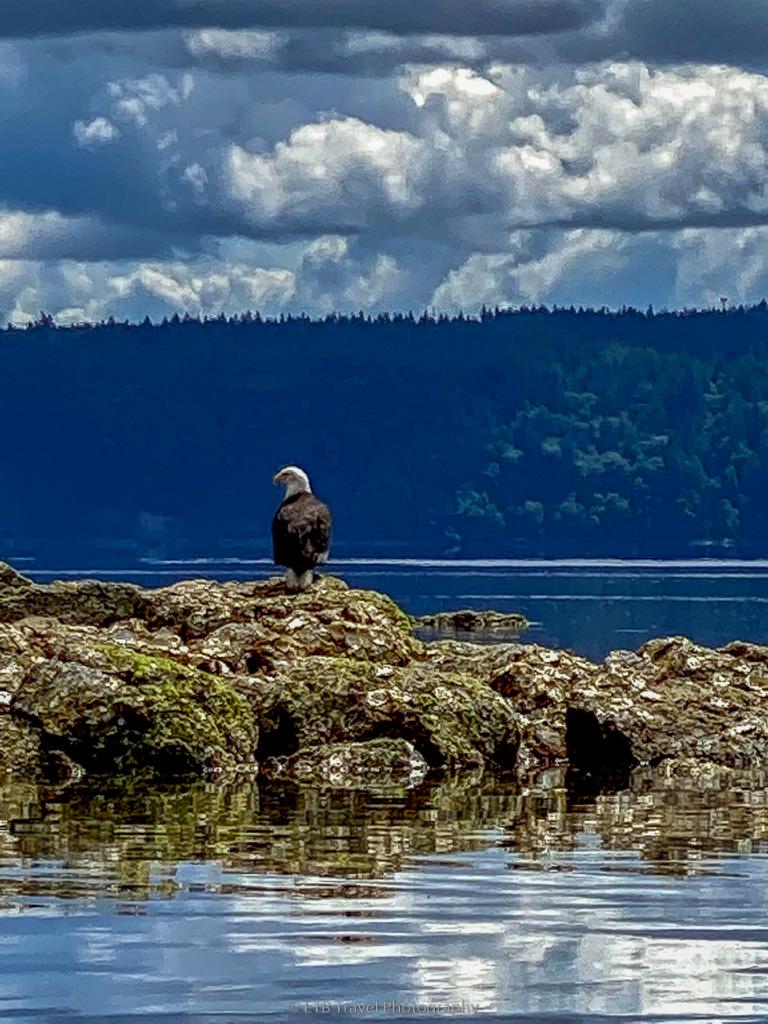 bald eagle on the olympic peninsula