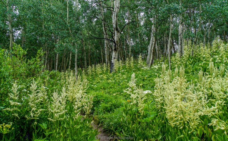 wildflowers and aspen on snodgrass trail