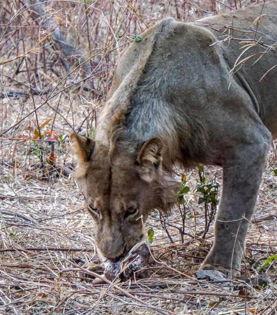 lion with warthog kill