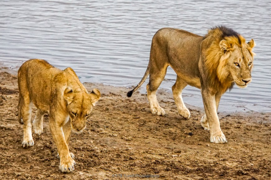 mating lion couple in zambia