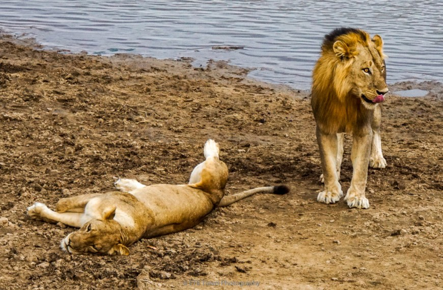 mating lion couple in south luangwa national park