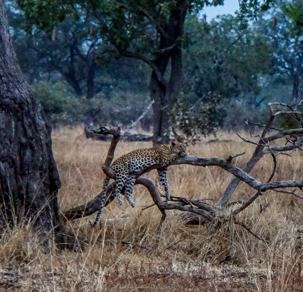 leopard resting on branch in south luangwa national park
