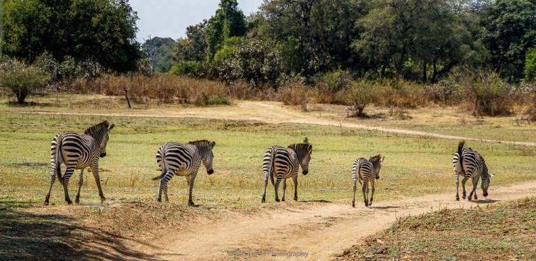 zebras in zambia