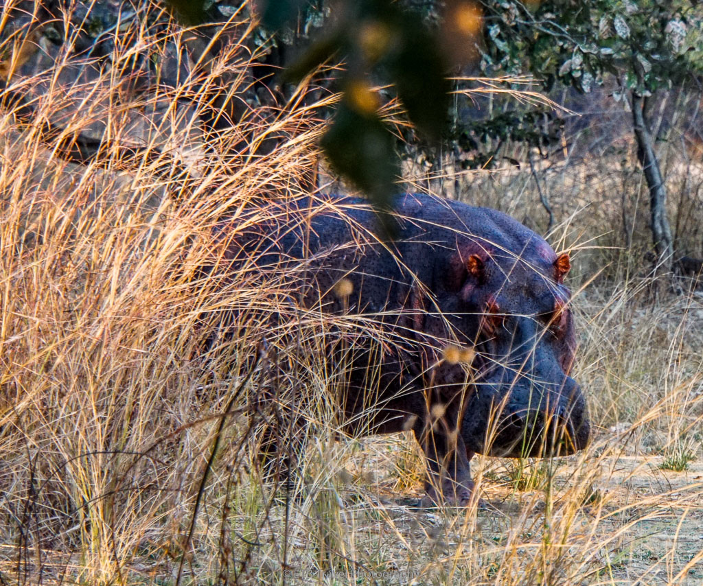 hippo in south luangwa national park