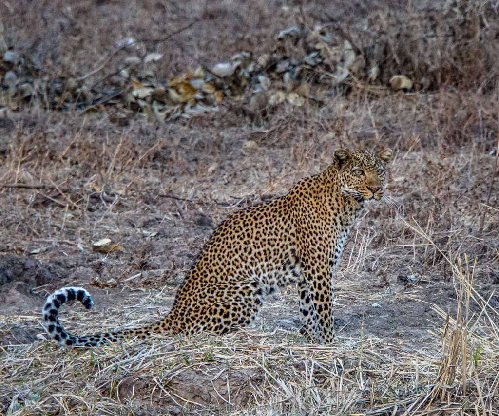 leopard getting ready to hunt