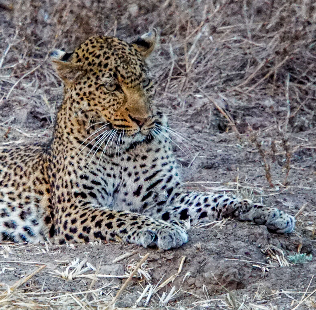 leopard with her eyes on the prize
