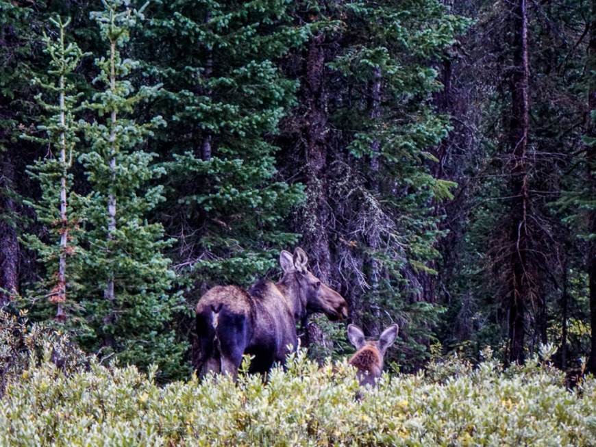 mama moose and baby in state forest state park