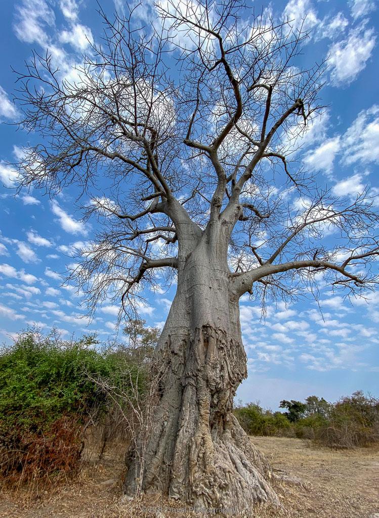 tree eaten by elephants in zambia