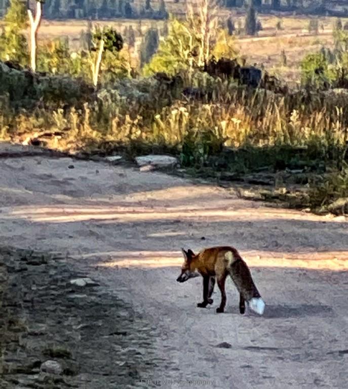 beautiful fox near walden