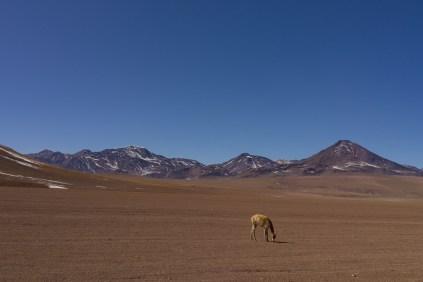 Vicuña se sent bien seule au monde.