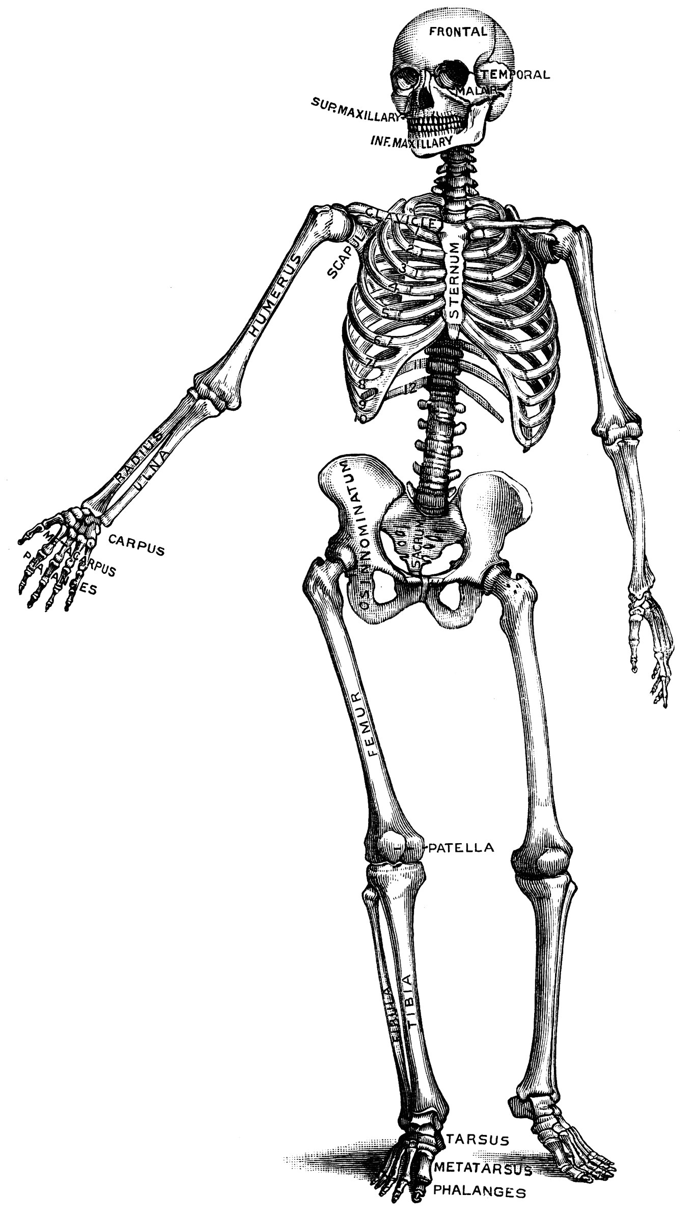 Human Skeleton ClipArt ETC