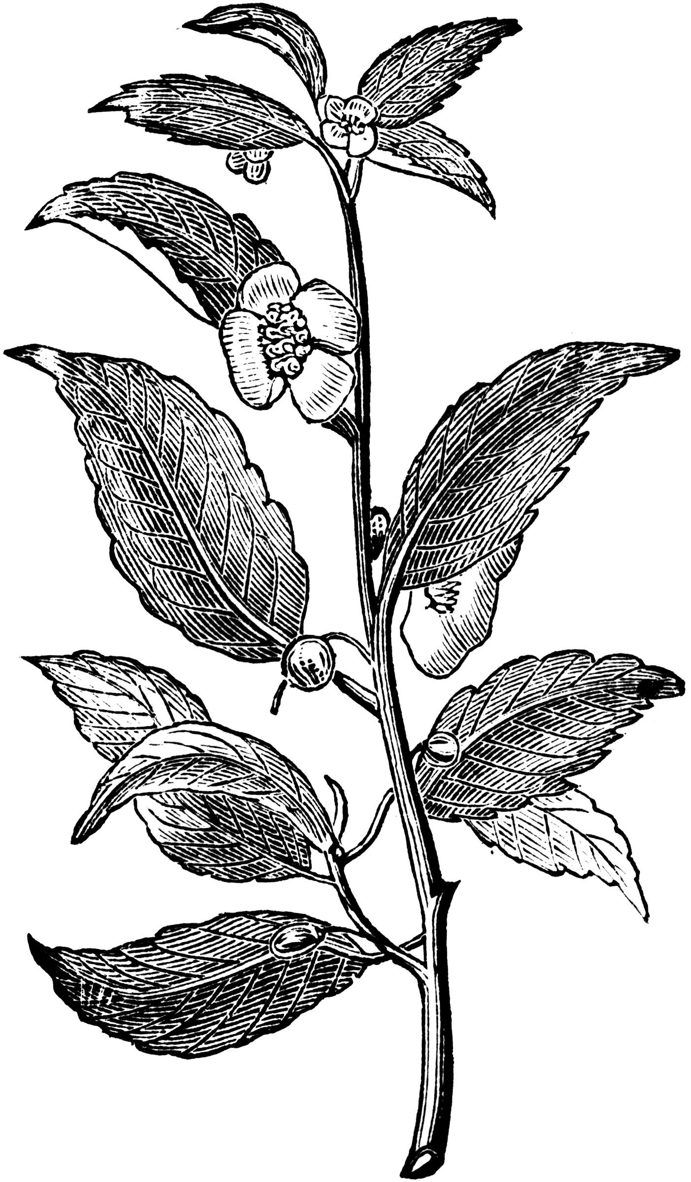 Tea Plant ClipArt ETC