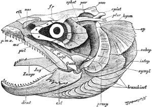 Fish Skull | ClipArt ETC