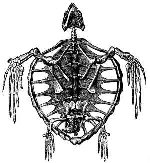 Skeleton of a Turtle | ClipArt ETC