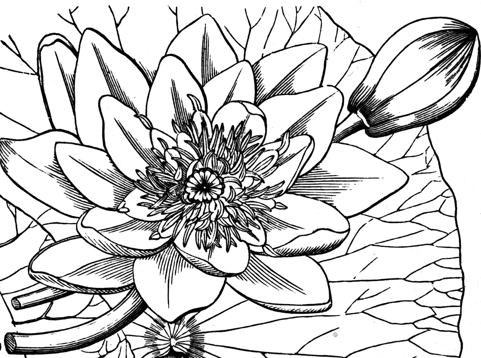 Water Lily ClipArt ETC