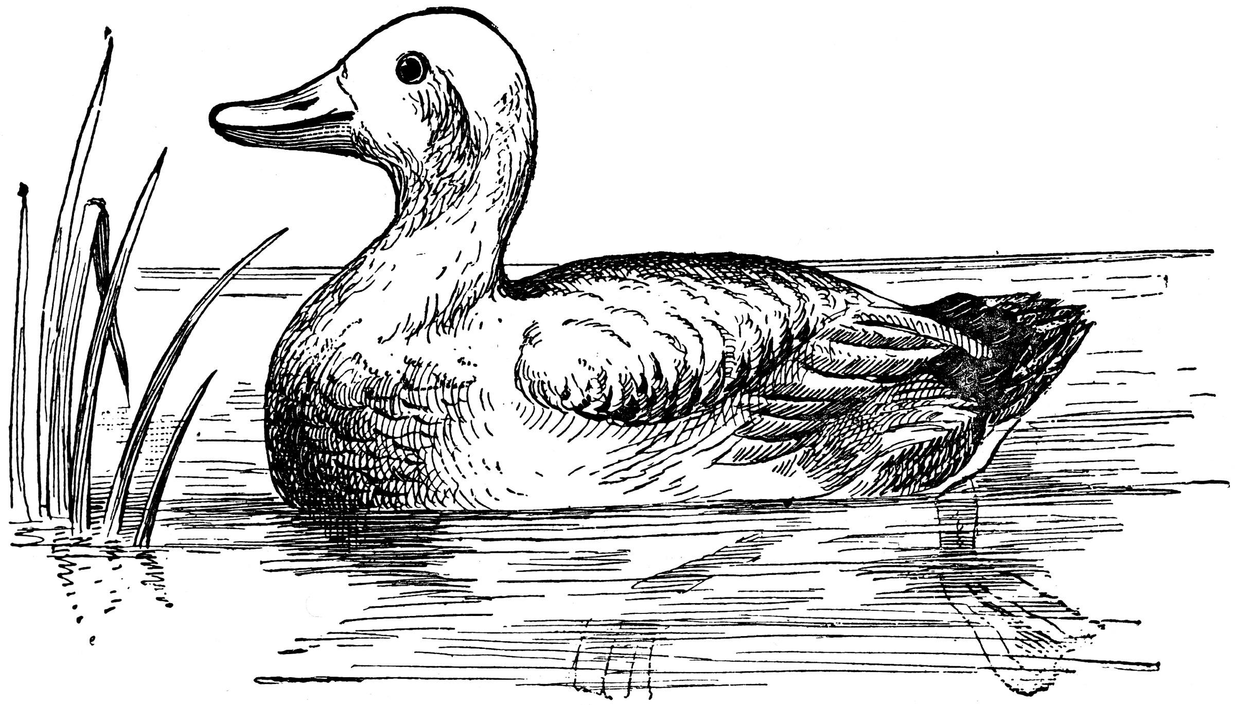 Duck | ClipArt ETC (2400 x 1370 Pixel)