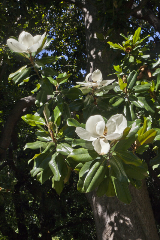 Flowering Magnolia Tree At Capitol Park In Sacramento ClipPix ETC Educational Photos For