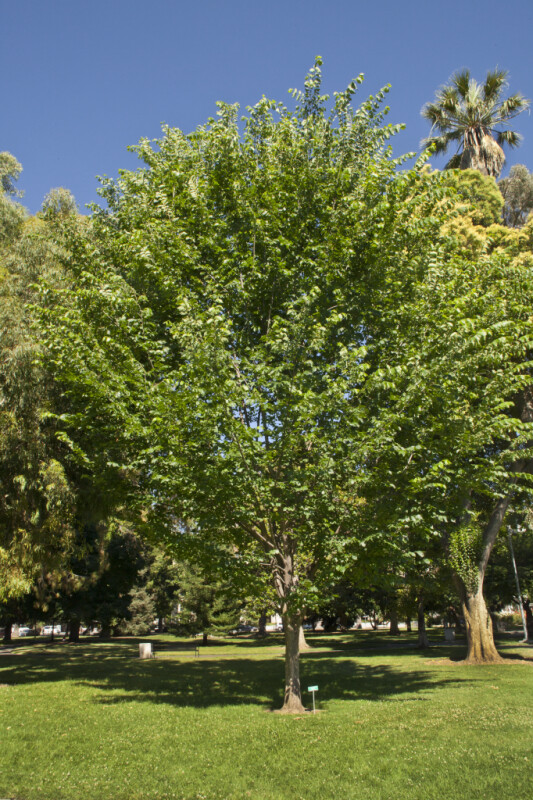 Princeton American Elm Tree At Capitol Park In Sacramento ClipPix ETC Educational Photos For