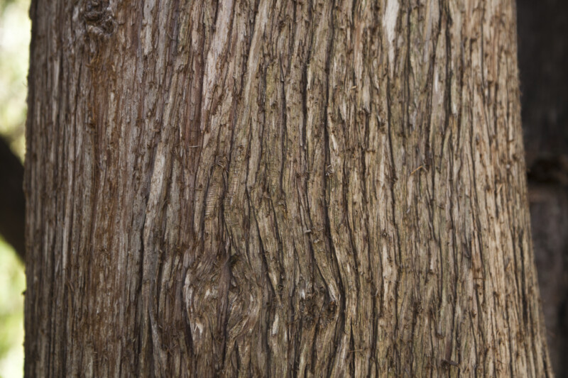Ridged Bark Of A Mourning Cypress Tree ClipPix ETC Educational Photos For Students And Teachers