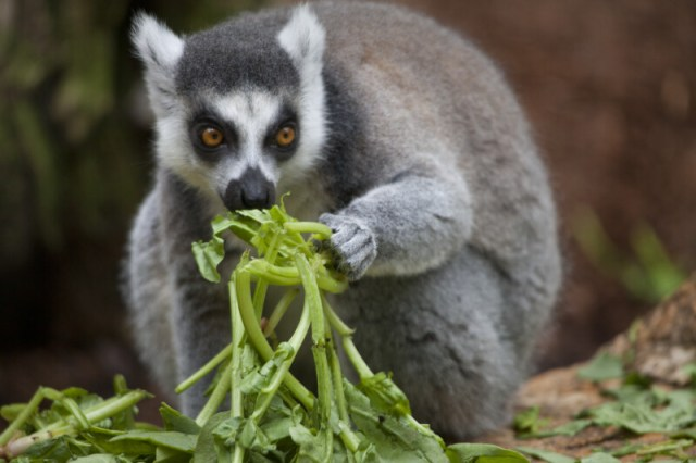 Ring-Tailed Lemur Eating Vegetation