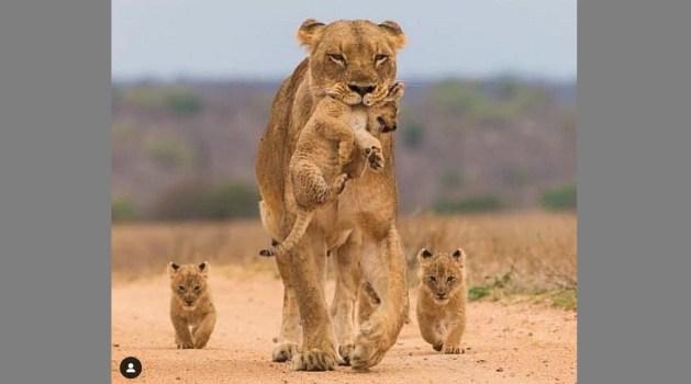 百獣の王ライオン意外なシーンに思わずクスッ! 愛らしい写真・動画にもほっこり