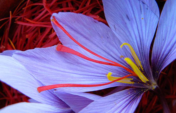 Шафран: особенности выращивания в открытом грунте.