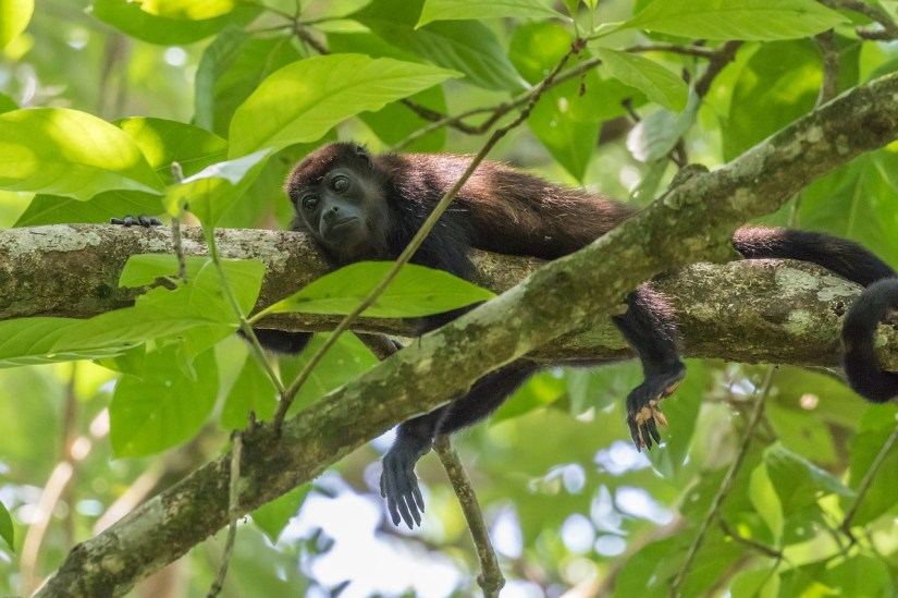 visit with howler monkeys, one of the greatest things to do in Belize