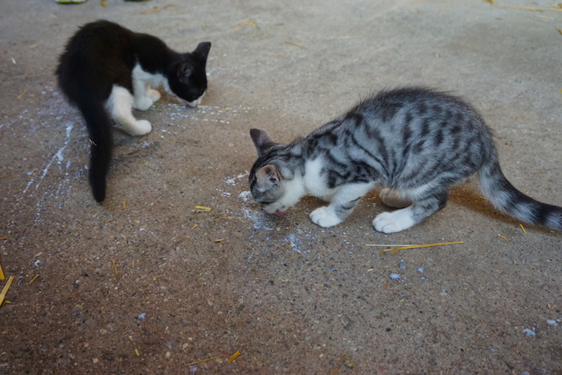Kittens lapping up spilled milk