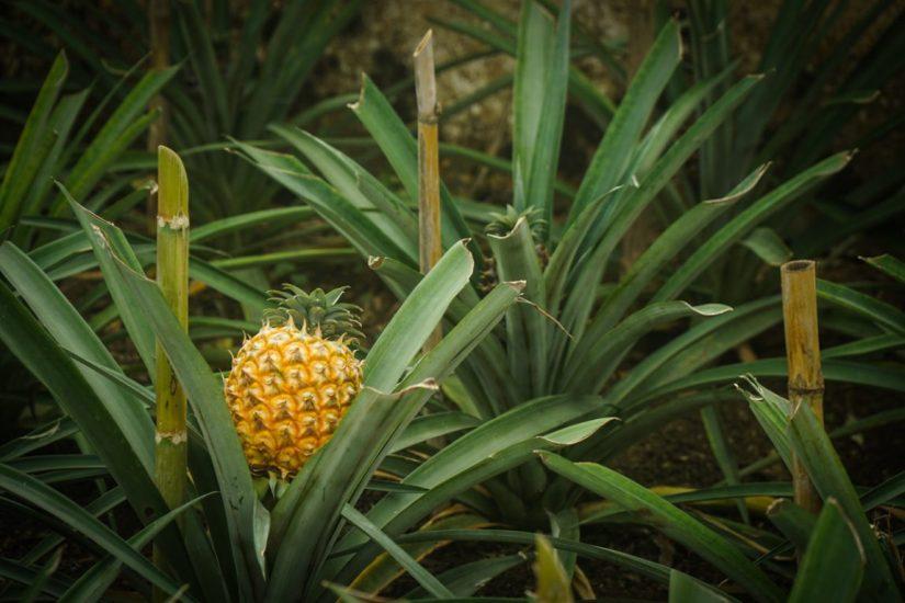 a teeny tiny azorean pineapple