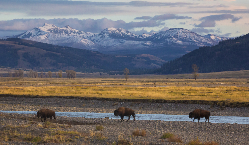 Three bison walking next to a small river, with yellow grass and several mountain peaks behind them.