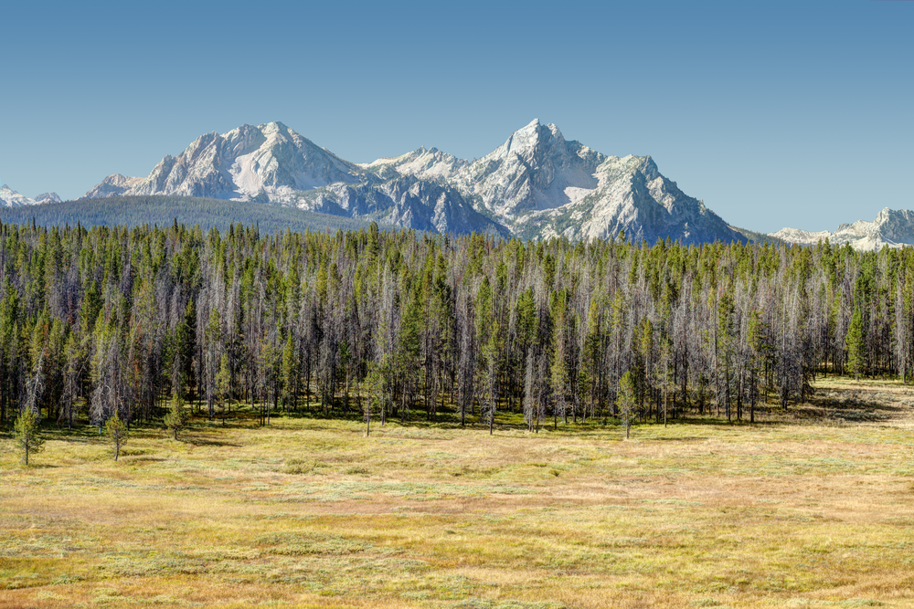 A yellow field next to some evergreen trees with several mountain peaks in the background on a clear day.