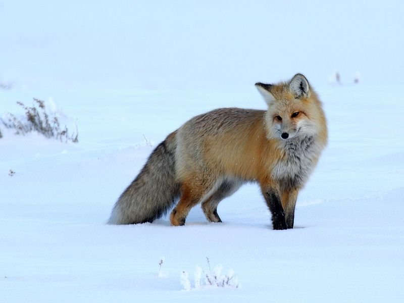 A red fox looking towards the camera in the snow