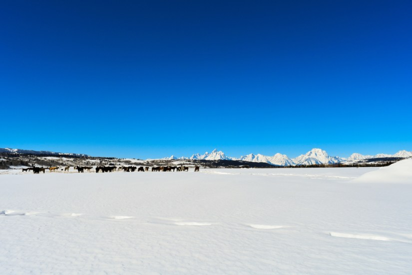 A faraway view of horses in the distance and mountains with footsteps in the snow.