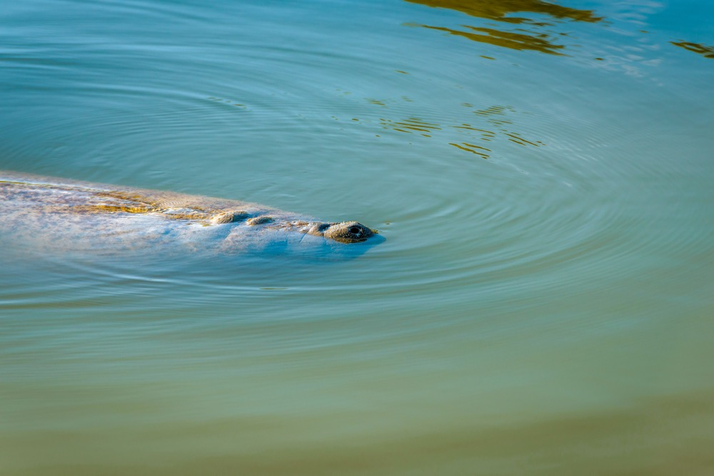 A manatee taking a breath at the surface of turquoise blue water near the Flamingo Marina in Everglades National Park: an itinerary must!
