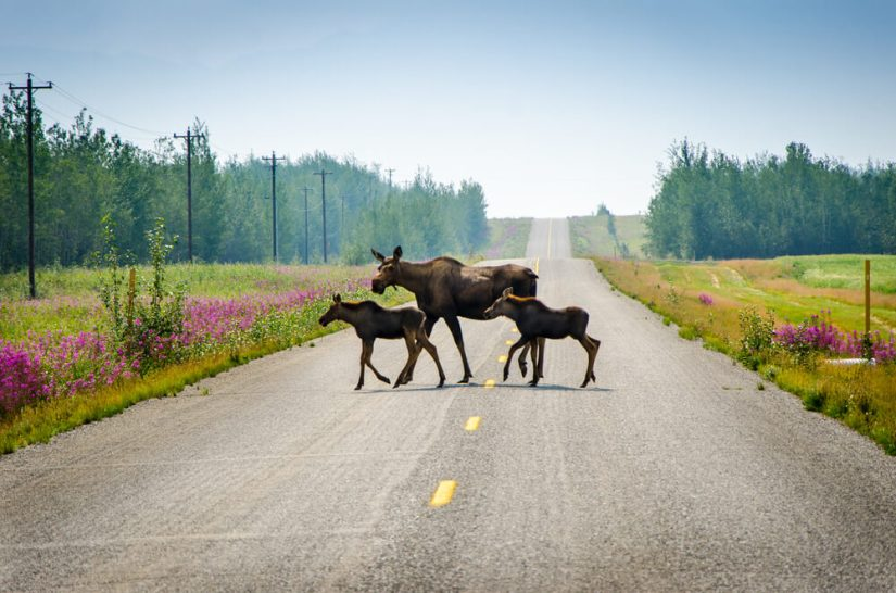 A family of three moose -- a mother and two babies -- crossing the road of the AlCan Highway with some pink flowers on the side of the road.