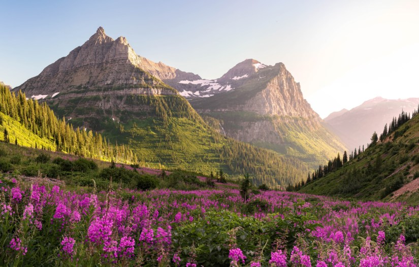 Pink wildflowers blooming in an alpine meadow in a valley between peaks in Glacier National Park, a Montana road trip itinerary must-see!