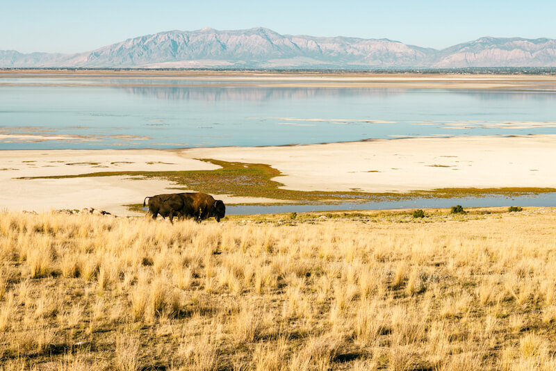 a buffalo on antelope island in great salt lake