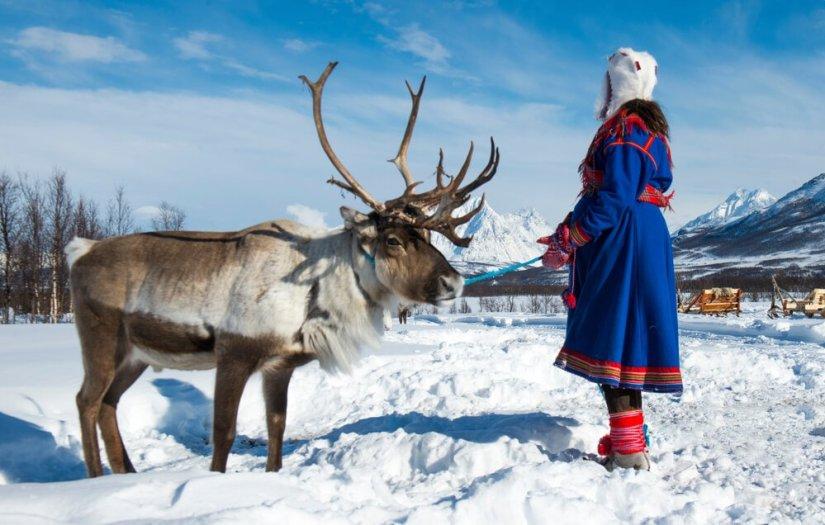 Sami woman handling a reindeer in the arctic