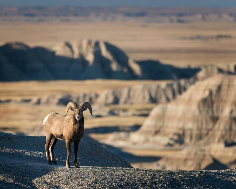 A bighorn sheep standing looking at the camera in Badlands national park