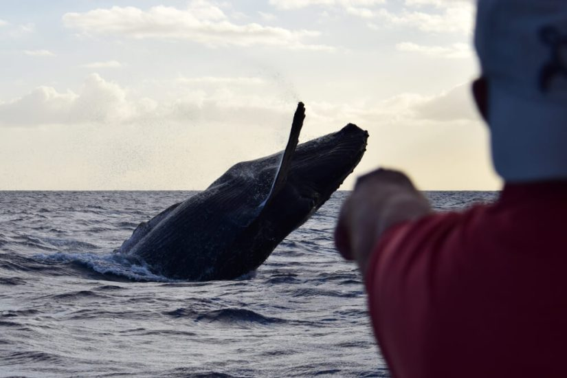 A rare close-up breach by a humpback whale delights whale watchers