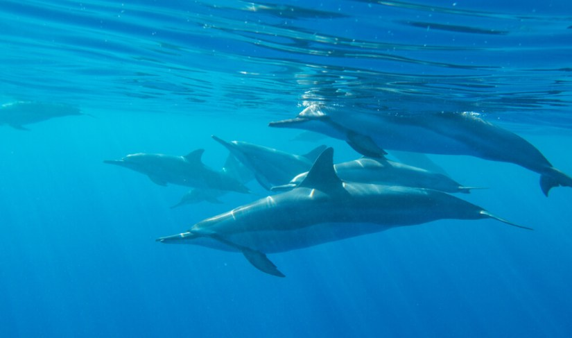 a pod of spinner dolphins under the water at two step beach