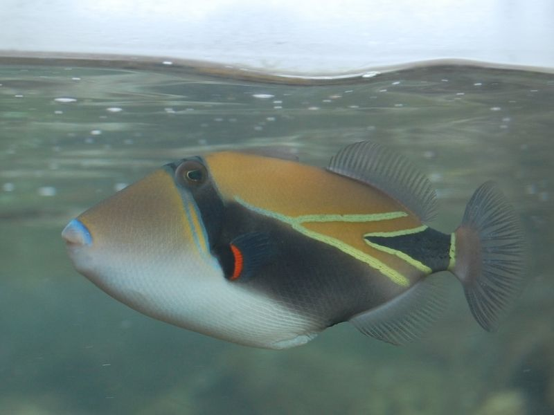 the famous state fish of hawaii with bright stripes and beautiful colors