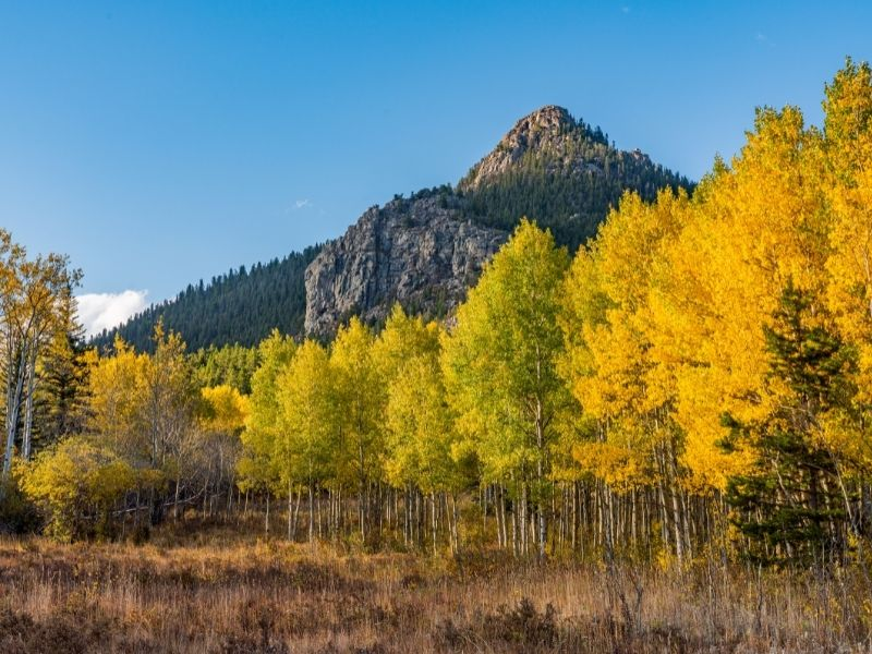 yellow aspen trees, next to some still-green aspens, near mountains in colorado in fall