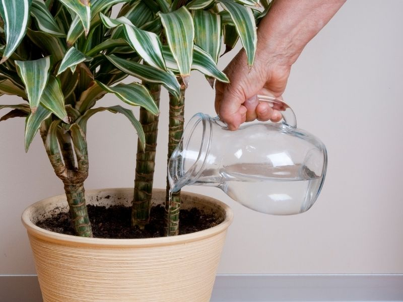 Person's hand watering an indoor plant