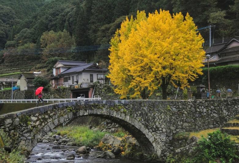 albero gingko autunno giappone